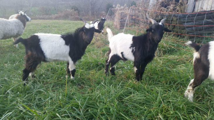 Goats on pasture