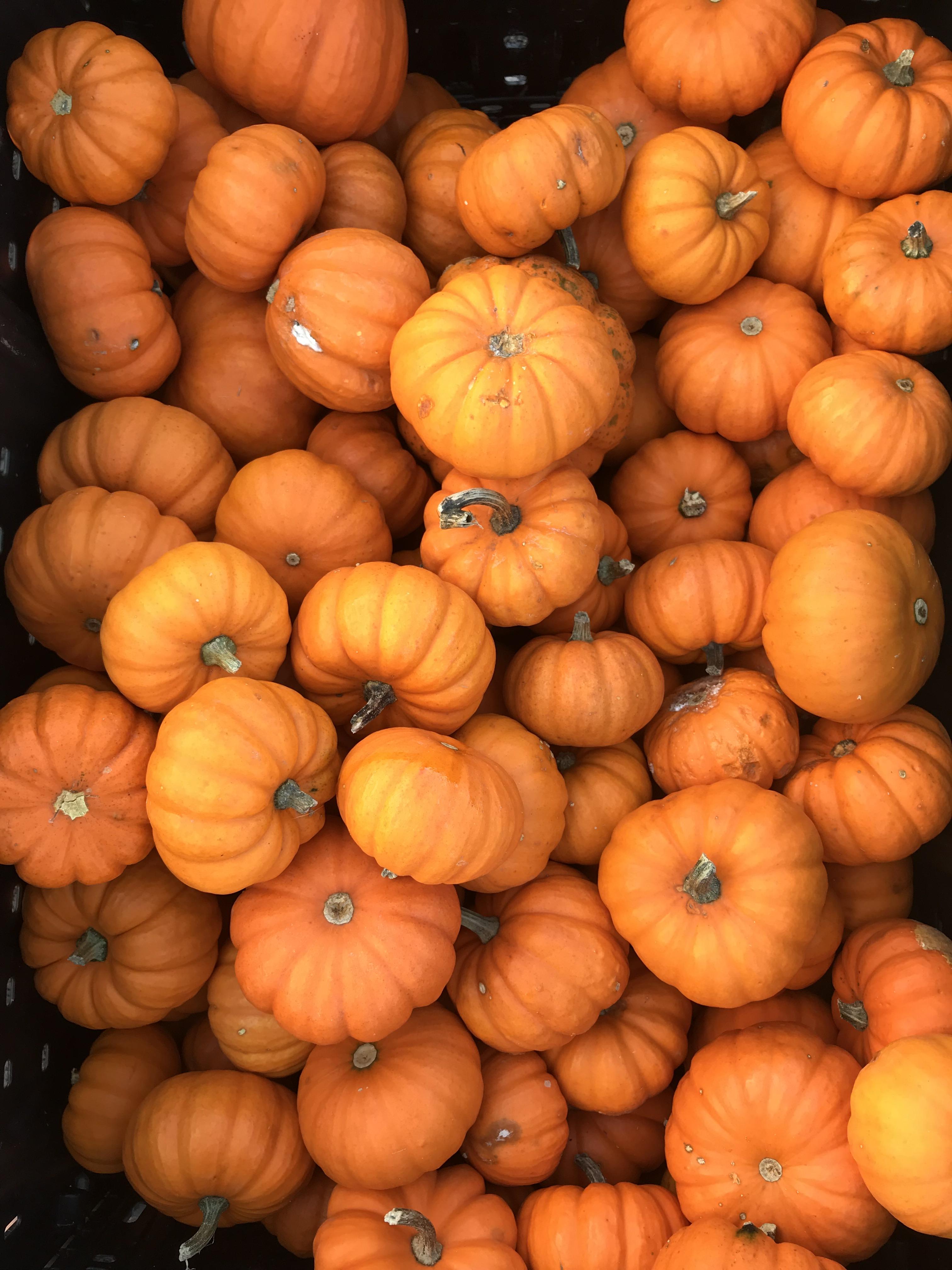 pumpkins2018a.jpg
